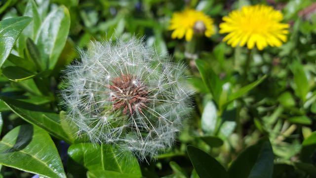 dandelions small